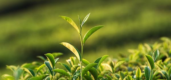 One plant, three tea varieties: all about white, green and black tea