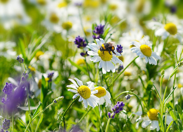 In what way can we help wild bees? An interview with the German Wildlife Foundation